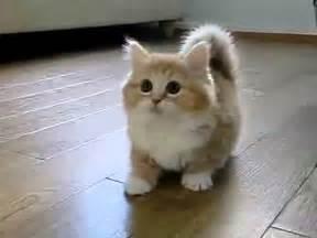 best cats for коротконогий котэ