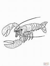 Lobster Coloring Hummer Maine Disegni Colorare Spiny Kreeft Ausmalbilder Aragosta Stampare Amerikanischer Kleurplaten Ausmalbild Kleurplaat Disegno Supercoloring Zum Kreeften Clip sketch template