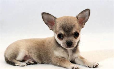 Razze Di Cani Da Appartamento by Cani Da Appartamento Per Bambini Cani Da Appartamento Le