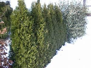 Sichtschutz Bäume Immergrün : heckenpflanzen baumschule salzburg spezialist f r gartenbau und landschaftsbau ~ Eleganceandgraceweddings.com Haus und Dekorationen