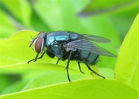 Blowfly insect video