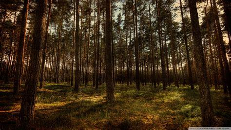 Pine Forest, Hdr 4k Hd Desktop Wallpaper For 4k Ultra Hd