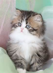 miniature cats for story of teacup cats and miniature cats save more animals