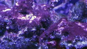 BGA Battle Plan: Controlling Cyanobacteria in Saltwater ...