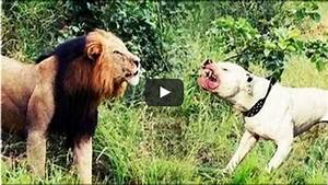 Pit bull attack lion - Dog vs Lion attack Compilations ...