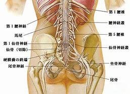 坐骨神経 に対する画像結果