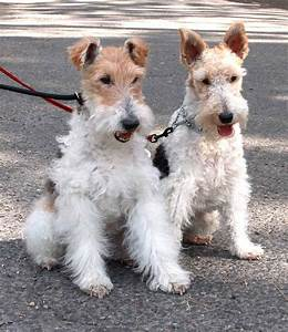 1000+ images about Foxterrier [wire fox terrier] on ...
