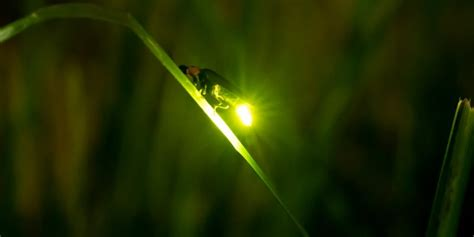 firefly viewing uji mayjune kyoto japan travel