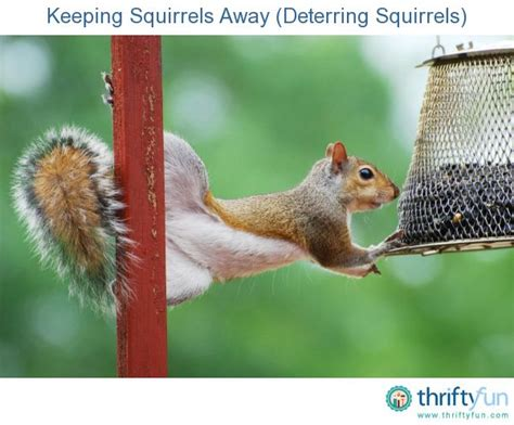 how to keep chipmunks out of your garden keeping squirrels away deterring squirrels gardens home and sheds