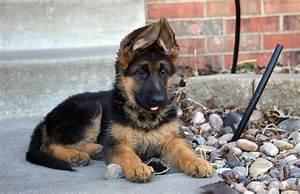 german shepherd pups for sale durban archives sheslap With german shepherd dog house for sale