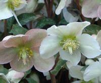 Fleur D Hiver Pour Jardinière : plantes et fleurs qui fleurissent l 39 hiver au jardin ~ Dailycaller-alerts.com Idées de Décoration