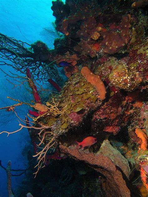 Coral, Belize Scuba Diving Photographs, Ambergris Caye