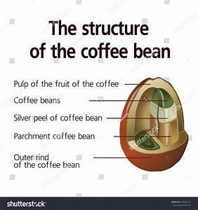 Structure Coffee Bean Vector Stock Vector 230031331