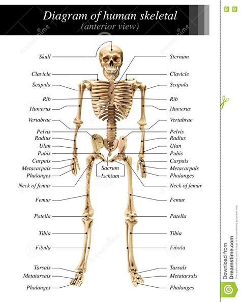 The skeleton & bones category covers the bones and function of the human skeleton, the axial and appendicular skeleton, the anatomy of the spine, types of joints including synovial joints, types, and shapes of. Human skeleton diagram stock image. Image of humerus - 73338717