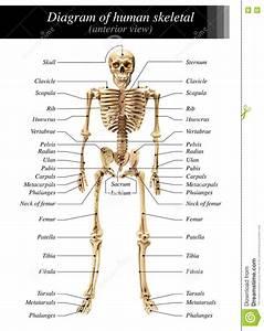 Human Skeleton Diagram Stock Image  Image Of Humerus