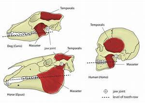 Jaw Motion And Chewing  Mastication