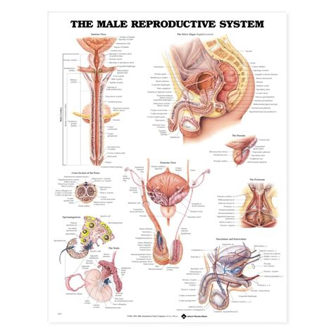 male reproductive system anatomical chart anatomy poster