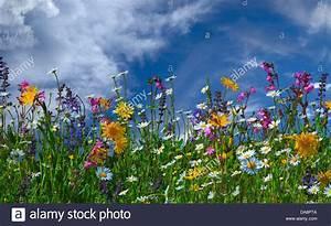 Wiese Mit Blumen : blumenwiese blumen sommer alpine bl ten wiesenblumen ~ Watch28wear.com Haus und Dekorationen