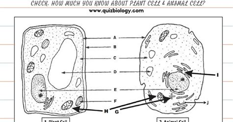 Plant Cell And Animal Cell Diagram Worksheet Pdf  Biology Exams 4 U