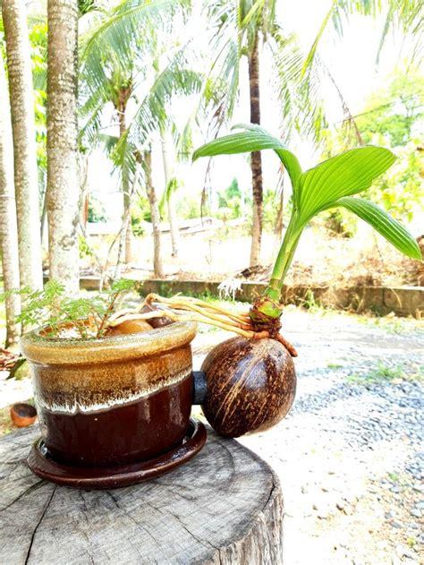 มะพร้าวบอนไซ phuket