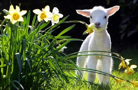 Lamb Chop  Other & Animals Background Wallpapers On Desktop Nexus (image 768138