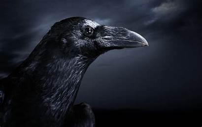Raven Ravens Crow Dark Gothic Bird Crows