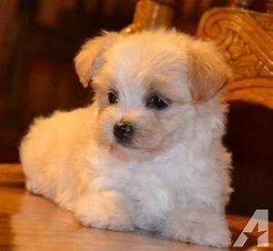 Tiny Morkie, Maltese and Yorkie mix fur babies for Sale in ...