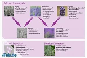 Lavendel Sorten übersicht : lavendel lavandula angustifolia liste der lavendelsorten ~ Eleganceandgraceweddings.com Haus und Dekorationen