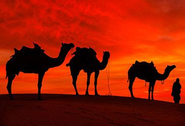 shop rajasthan desert  camel wallpaper  india theme