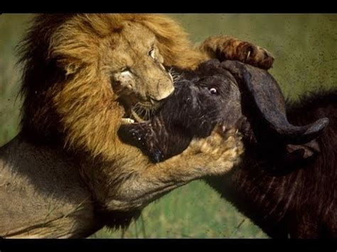 life  lions hunting fighting mating full