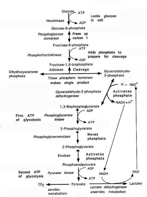 Glycolysis Worksheet High School Biology Glycolysis Best Free Printable Worksheets