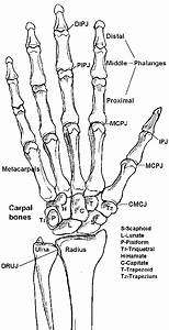 Learning The Bones Of The Forearm  Wrist And Hand