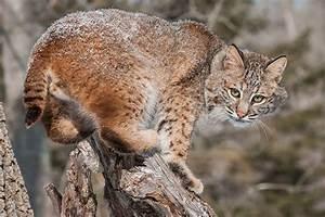 Lynx and Bobcat | San Diego Zoo Animals & Plants