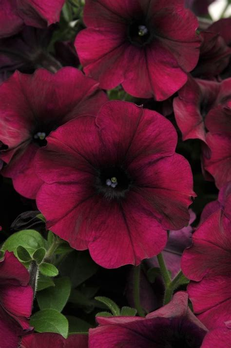 easy wave petunias best 25 petunia plant ideas on pinterest