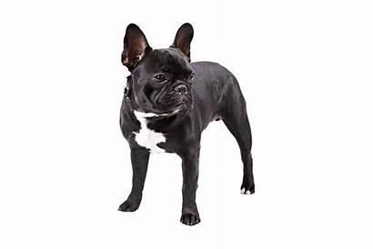 Bulldog French Dog Breeds Frenchie Transparent Bulldogs
