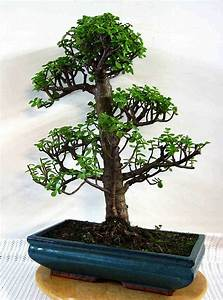 Pflege Bonsai Baum Indoor : pflege bonsai bonsai baum kaufen und richtig pflegen ~ Michelbontemps.com Haus und Dekorationen
