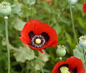 The Daily Plant: Poppies