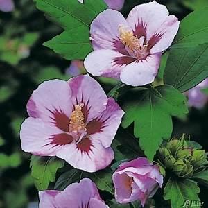 Hortensien Vermehren Wasserglas : die besten 25 hibiskus schneiden ideen auf pinterest ~ Lizthompson.info Haus und Dekorationen