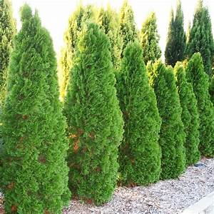 Thuja Smaragd Düngen : thuja occidentalis smaragd overland nurseries ~ Michelbontemps.com Haus und Dekorationen