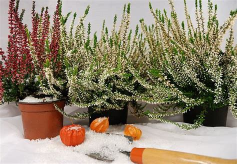 Pflanzen Winterfest Einpacken by Winterharte K 252 Belpflanzen 220 Berblick Obi