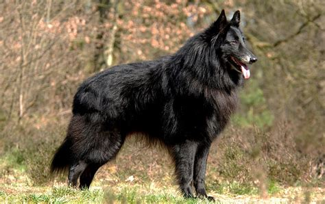 Groenendael P Os Pictures Dog Breed Atlas