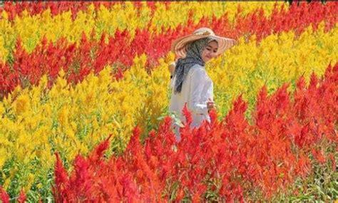 daftar taman bunga celosia  jogja terbaru daerah