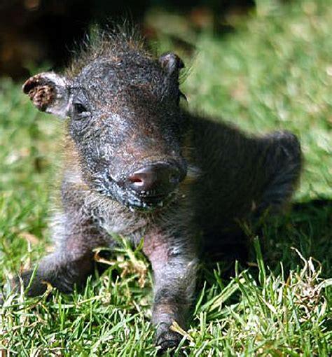 warthog baby cute warthogs animal animals cycle stories milk born burrow wild matata worries means babyanimalzoo they true read zoom
