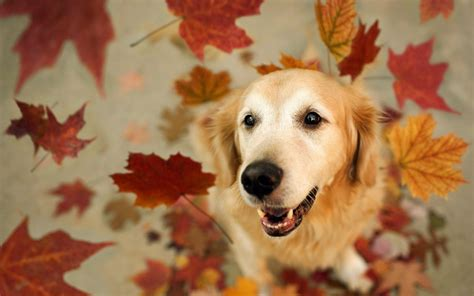 Fall Backgrounds Dogs by Dogs Autumn Wallpaper High Definition High Quality