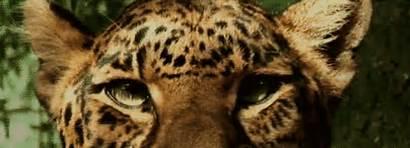 Leopardo Eyes Ojos Leopard Leopardos Gifs Animal