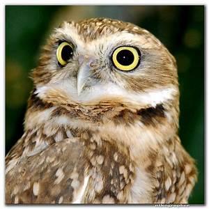 lifeoncampus - Burrowing Owl