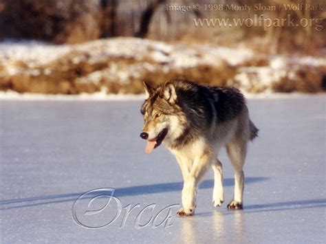 world   wolf wolf park photo gallery ii page