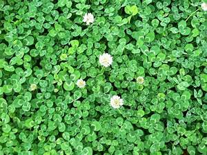 WHITE DUTCH CLOVER 1 lb Seed Lawn Groundcover Seeds Low ...