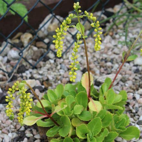 umbilicus oppositifolius chiastophyllum oppositifolium