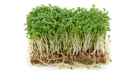 comment cuisiner les pousses de soja comment faire ses germinations et ses pousses
